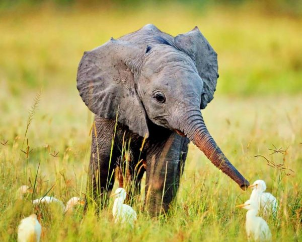 african baby elephant with small birds