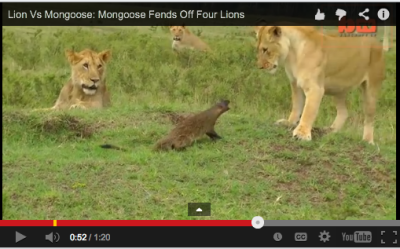 Come at me, bro! Mongoose vs Lions